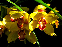 Orchids_Yellow_NYBG_3-24-18_HDR-RealisticVivid